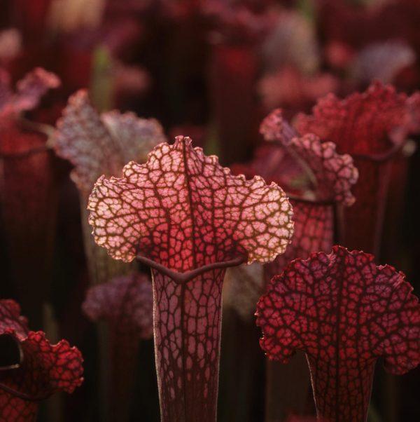 gartenbau thomas carow spezialg rtnerei f r fleischfressende pflanzen kultur der gattungen. Black Bedroom Furniture Sets. Home Design Ideas